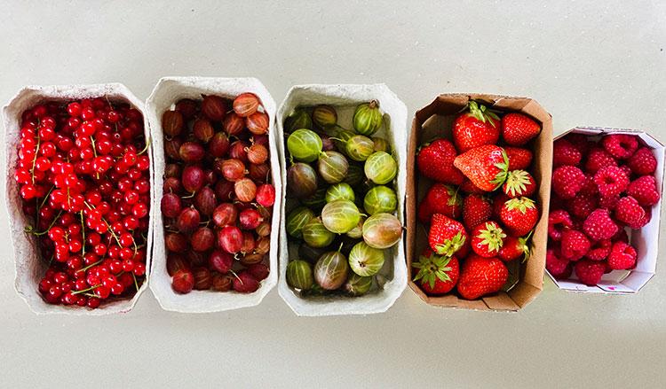 Johannisbeeren, Himbeeren, Erdbeeren, Stachelbeeren für einen roten Smoothie